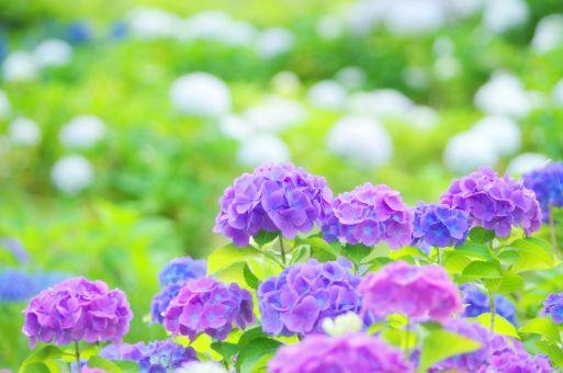 紫陽花 当て字